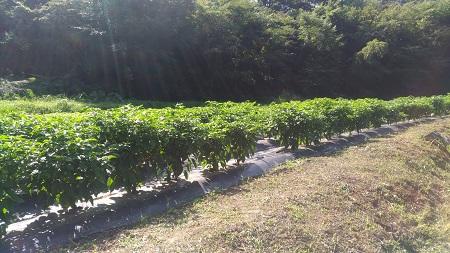 収穫直前風景.jpg
